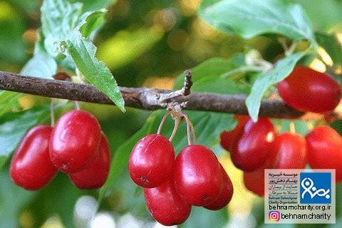 میوه های ضد سرطانی موسسه خیریه بهنام دهش پور